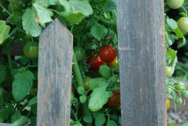 2 5 - Fresh Tomato and Basil Tart
