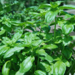 3 150x150 - Basil Pesto from the Garden