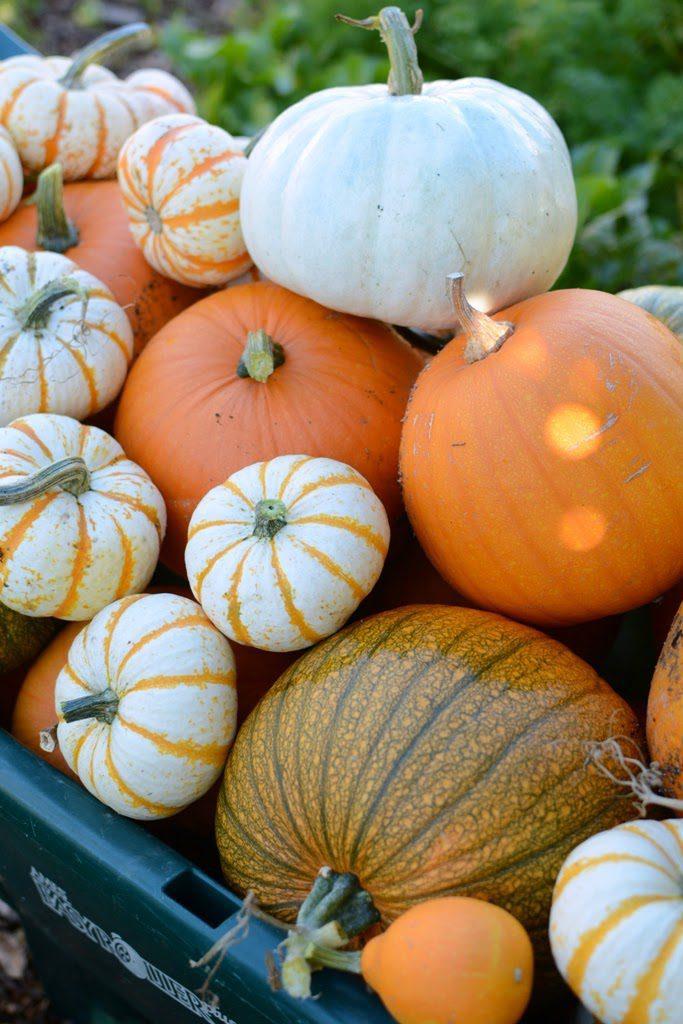 1 1 683x1024 - The Pumpkin Harvest and Halloween Treats
