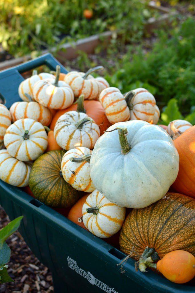 2 1 683x1024 - The Pumpkin Harvest and Halloween Treats