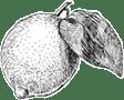 Lemon sketch 112x90 - Lemon-sketch-112x90